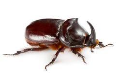 独角兽甲虫 库存照片
