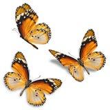 三个桔子蝴蝶 图库摄影