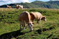Коровы на горной вершине Стоковое Изображение RF