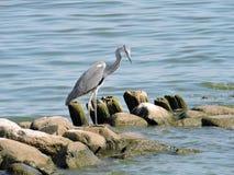 灰色苍鹭鸟 免版税库存照片