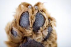 在a前面的逗人喜爱的英国猎犬小狗 免版税库存照片