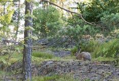 布朗野生兔子在森林里在夏天 免版税库存图片