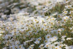 小的雏菊在庭院开花吹在风行动迷离 免版税图库摄影
