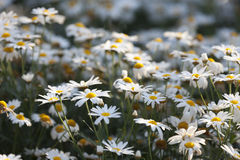 小的雏菊在庭院开花吹在风行动迷离 库存图片