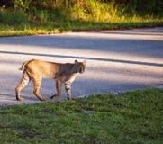 佛罗里达美洲野猫 库存图片