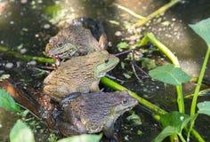 青蛙在农场 库存图片