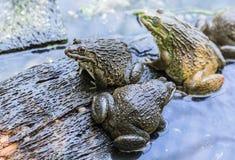 青蛙在农场 库存照片