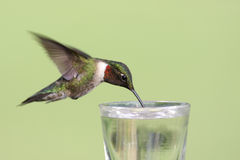 红喉刺莺蜂鸟的红宝石 免版税库存照片