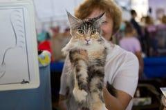 美丽的猫品种缅因浣熊 免版税库存照片