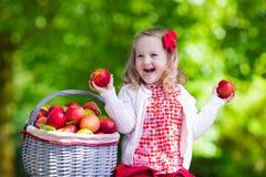 小女孩采摘苹果在果树园 免版税图库摄影