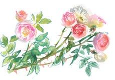 淡粉红的玫瑰分支  免版税图库摄影