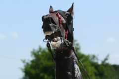 在上马具的赛马比赛期间的马 免版税图库摄影
