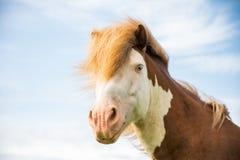 布朗和白色冰岛马 免版税库存图片