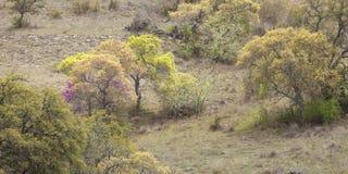 在得克萨斯小山国家山坡的树在春天期间 免版税库存照片