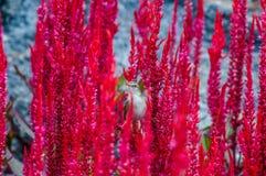在一朵红色花的麻雀鸟 图库摄影