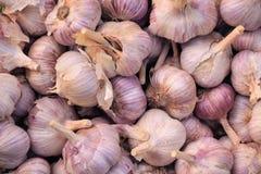 Συγκομιδή του σκόρδου αναπτύσσοντας λαχανικά Γεωργία Στοκ Φωτογραφία