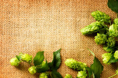 酿造啤酒的成份 在粗麻布关闭的新鲜的蛇麻草 库存照片