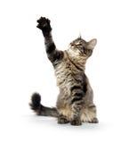 逗人喜爱的虎斑猫 库存照片