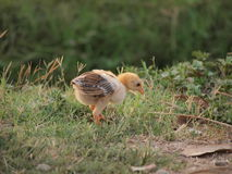 一只小鸡 免版税库存图片