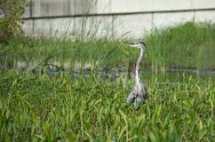伟大蓝色的苍鹭的巢偷偷靠近的牺牲者 库存照片