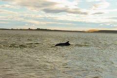 宽吻海豚海鳗峡湾苏格兰 免版税库存图片