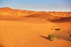 植物在撒哈拉大沙漠 免版税库存图片