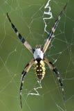 Паук сада (чернота & желтый цвет) Стоковое Изображение RF