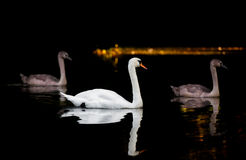 与两只大小天鹅的成人天鹅在黑暗的水 库存照片