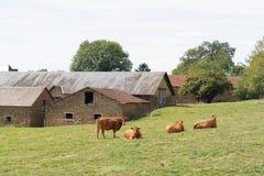 利姆辛母牛在村庄 免版税库存照片