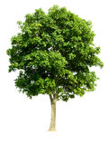 查出的结构树核桃 免版税库存图片
