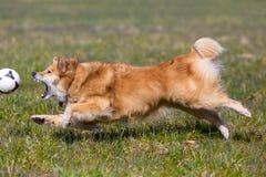 Собака бежать после шарика Стоковое Изображение RF