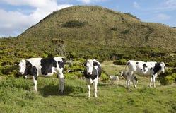 吃草母牛在草甸 绿色风景在亚速尔群岛 葡萄牙 图库摄影