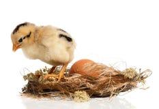 新出生的小鸡 免版税库存照片