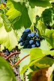 水多的束成熟葡萄在葡萄园里 免版税库存照片