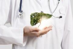 健康肝脏 库存照片