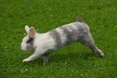 Милый кролик скача на зеленую траву Стоковая Фотография RF