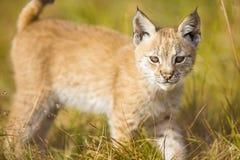 逗人喜爱的幼小天猫座崽充当草甸 库存图片
