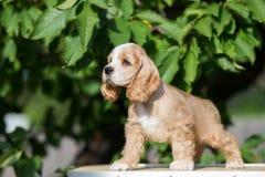 红色和白色美国美卡犬小狗 免版税库存图片