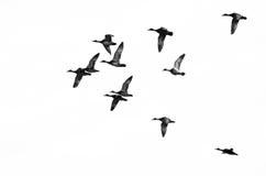 飞行在白色背景的鸭子群  免版税库存图片