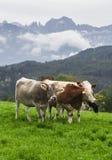 在一个绿色高山草甸的母牛 免版税库存照片