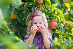 小女孩从树的采摘苹果在果树园 免版税库存图片