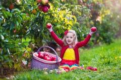 小女孩从树的采摘苹果在果树园 免版税图库摄影