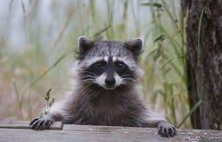 逗人喜爱的浣熊 免版税库存照片