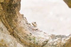 掩藏在一个混凝土墙后的蜥蜴 免版税库存照片