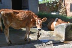 关闭家养的母牛 库存图片