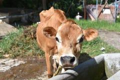 关闭家养的母牛 免版税图库摄影