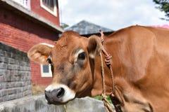 关闭家养的母牛 免版税库存图片