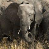 słoń Fotografia Royalty Free