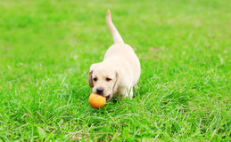 使用与橡胶球的美丽的狗小狗拉布拉多猎犬 免版税库存照片