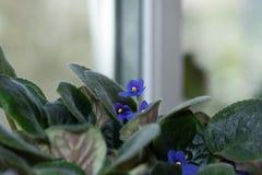 在窗口的蓝色紫罗兰 免版税库存照片